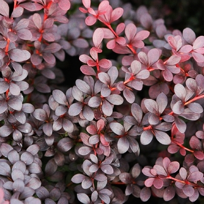 Berberis thunbergii Dart's Red Lady 2
