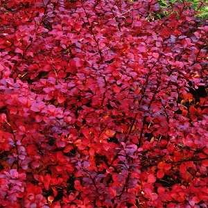Berberis thunbergii Darts Red Lady osen