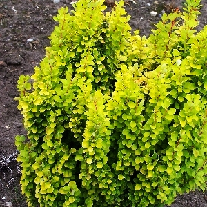 Berberis thunbergii Golden Rocket 1