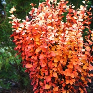 Berberis thunbergii Golden Rocket osen