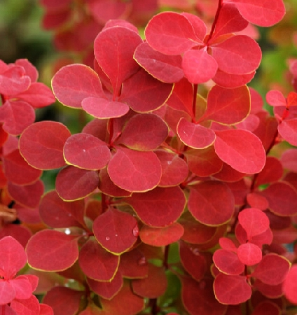 Berberis thunbergii Orange Rocket 2