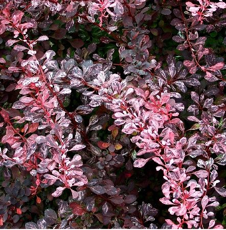 Berberis thunbergii Pink Queen 1