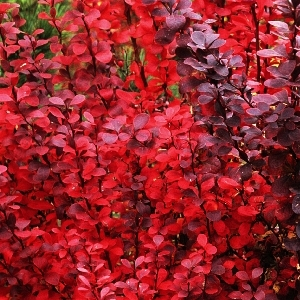 Berberis thunbergii Red Pillar 1