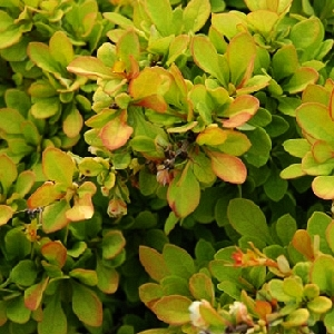 Berberis thunbergii Sunsation 2