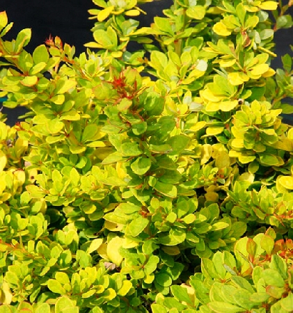 Berberis thunbergii Sunsation 3