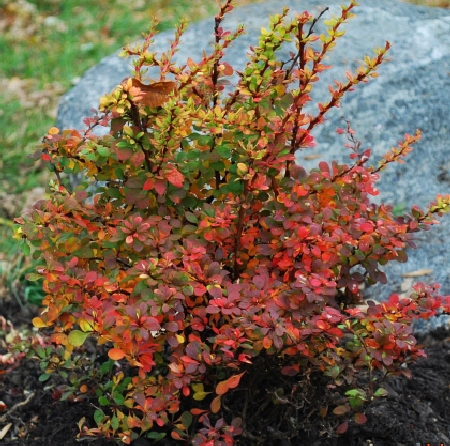 Berberis thunbergii Sunsation 4