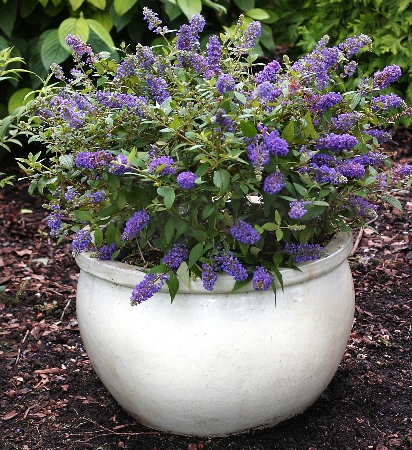 Buddleja davidii Blue Chip