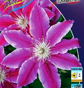 Clematis Dr Ruppel