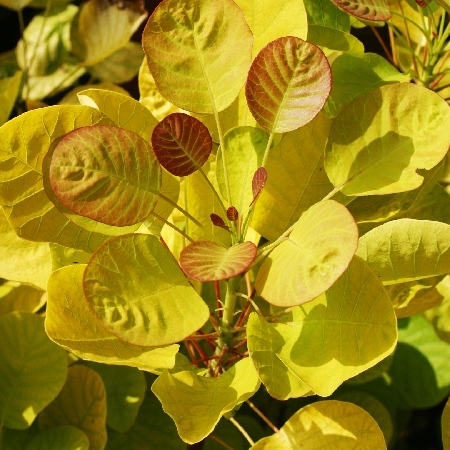 Cotinus coggygria Golden Spirit 1