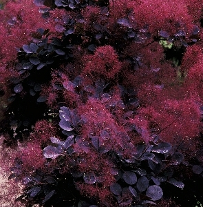 Cotinus coggygria Royal Purple 1