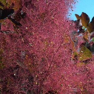Cotinus coggygria Royal Purple 2