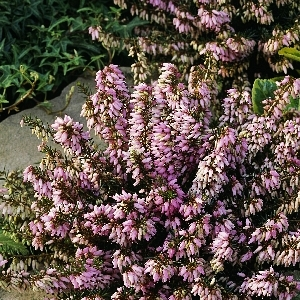Erica carnea March Seedling