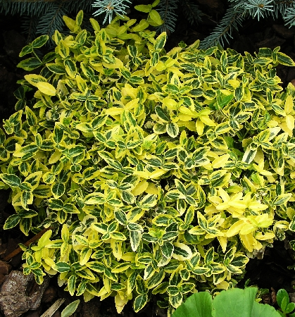 Euonymus Emerald 'n Gold