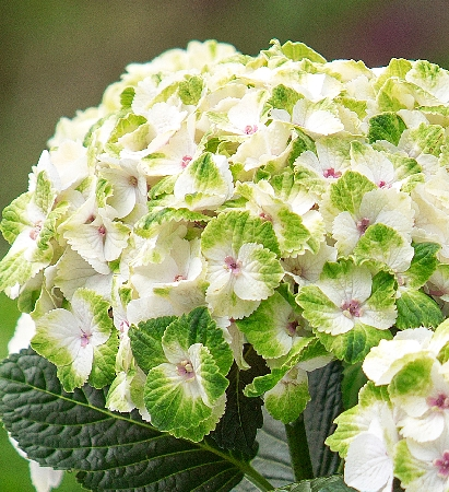 Hydrangea macrophylla Magical Noblesse 1