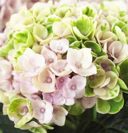 Hydrangea macrophylla Magical Revolution pink 1
