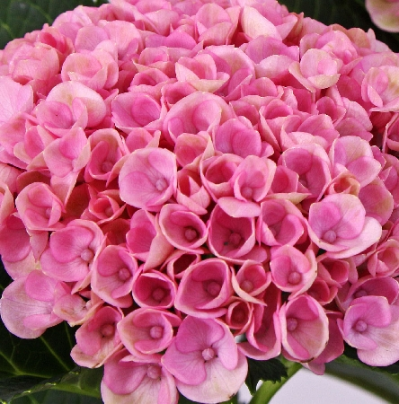 Hydrangea macrophylla Magical Revolution pink 2