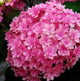 Hydrangea macrophylla You & Me Expression 1
