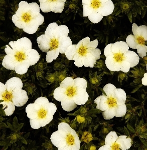 Potentilla fruticosa Mc Kay's White