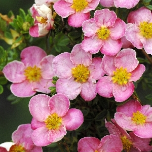 Potentilla fruticosa New Dawn
