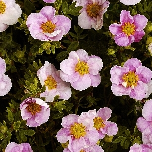 Potentilla fruticosa Pink Queen