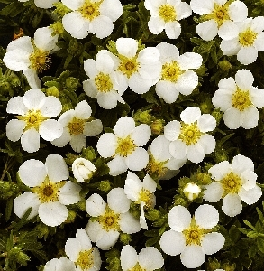 Potentilla fruticosa White Lady