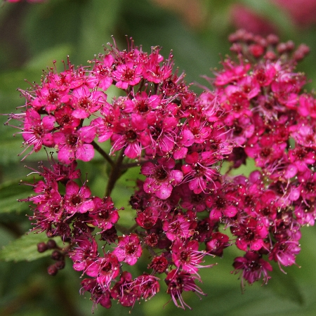 Spiraea japonica Darts Red 2