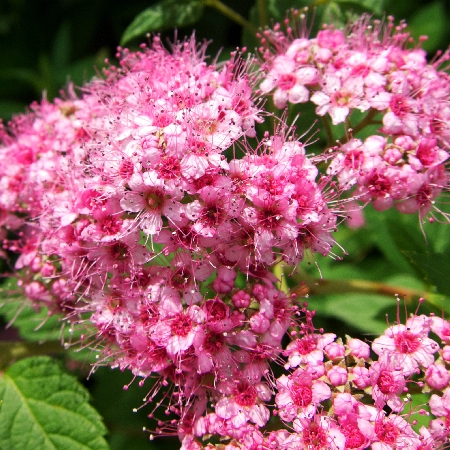 Spiraea japonica Little Princess 1