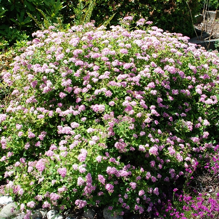 Spiraea japonica Little Princess 2