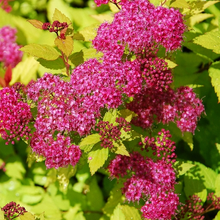 Spiraea japonica Magic Carpet 2