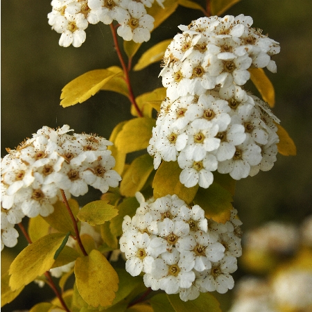 Spiraea vanhouttei Gold Fountain 1
