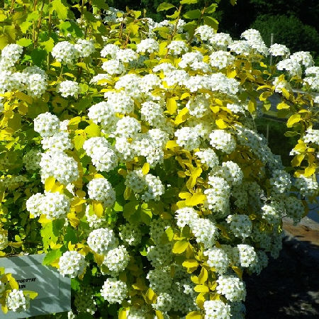 Spiraea vanhouttei Gold Fountain 2