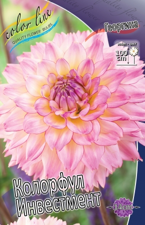 Dahlia Colourfull Investment