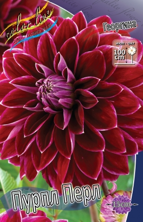 Dahlia Purple Pearl