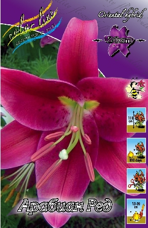 Lilium Arabian Red