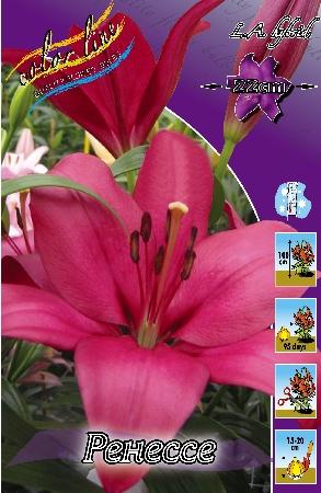 Lilium renesse