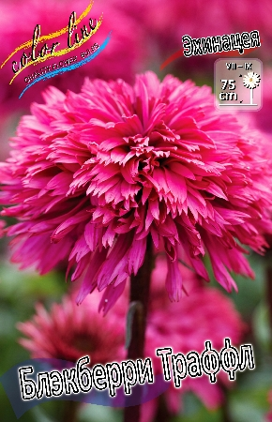 Цветы юле блэкберри цветы оптом семена комнатных