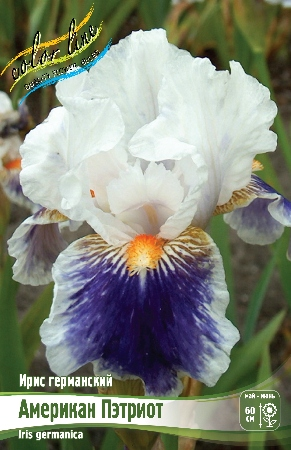 Iris germanica Belvey Queen